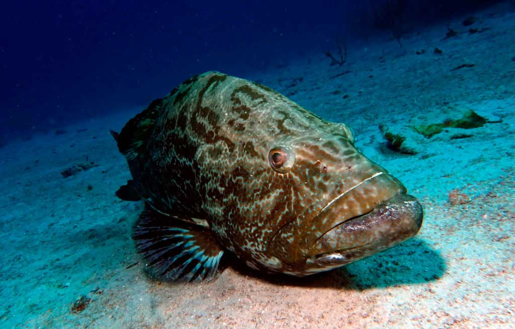 Black grouper sitting on the sandy bottom