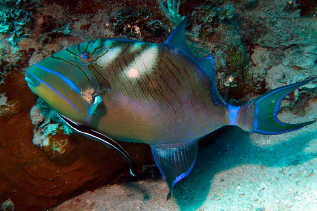 Queen trigger fish with a remora fish